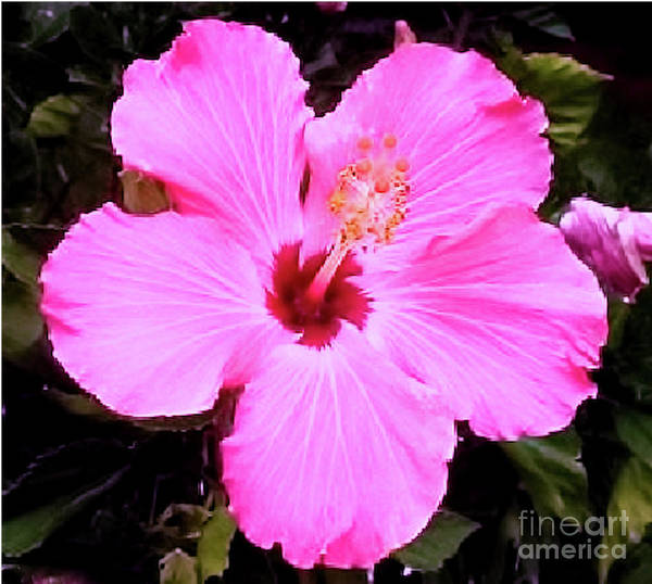 Photograph - Pink Hibiscus by James Fannin