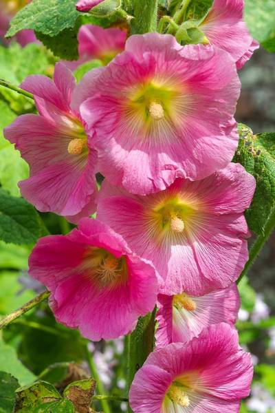 Wall Art - Photograph - Pink Hollyhock Flowers by Angie C