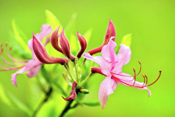 Photograph - Pink Honeysuckle Flowers by Christina Rollo