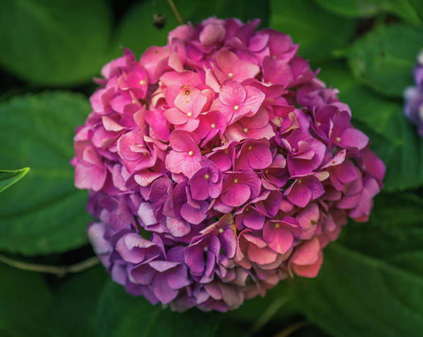 Photograph - Pink Hydrangeas by Dan Sproul