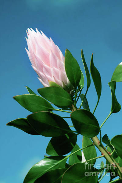 Photograph - Pink King Protea Cynaroides Sugar Bush  by Sharon Mau