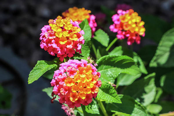 Photograph - Pink Lantana by Dawn Richards