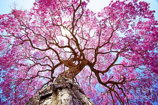 Wall Art - Photograph - Pink Lapacho Tree At Sun´s Back Light by Roberto Tetsuo Okamura