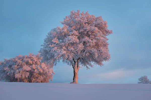 Wall Art - Painting - Pink Leaved Tree During Daytime by Celestial Images
