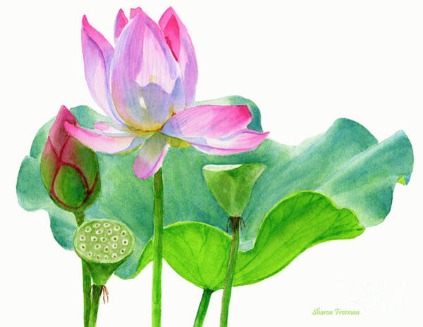 Waterlily Painting - Pink Lotus Blossom With Pad And Bud by Sharon Freeman