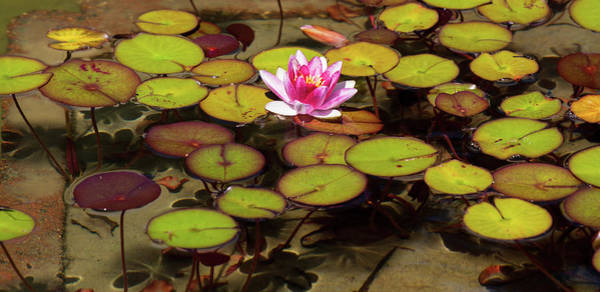 Wall Art - Photograph - Pink Lotus Or Water Lily With Lily Pads by Beauty Lies In The Eyes Of The Beholder