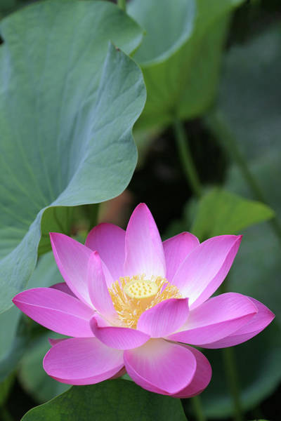Wall Art - Photograph - Pink Lotus Under Green Leaves by Narcisa