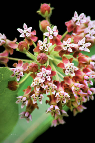 Photograph - Pink Milkweed Flowers by Christina Rollo