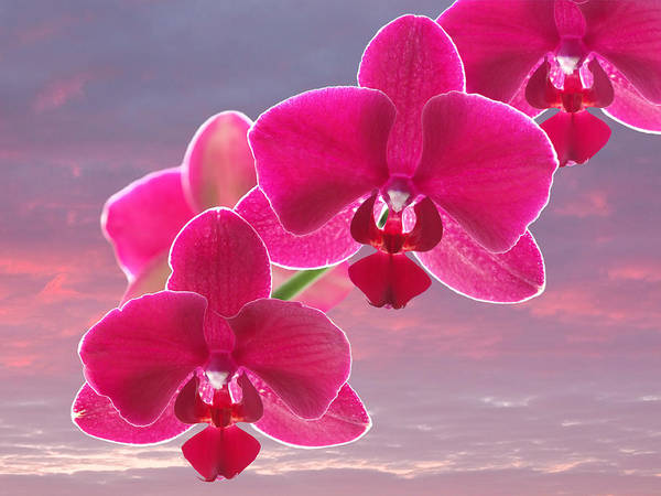 Cerise Photograph - Pink Orchid Sunset by Gill Billington