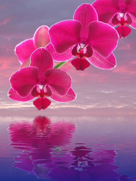 Cerise Photograph - Pink Orchid Sunset Reflections by Gill Billington