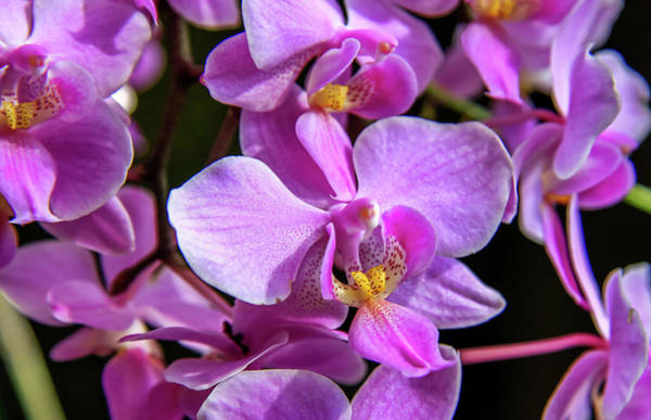 Art Print featuring the photograph Pink Orchids by Dawn Richards