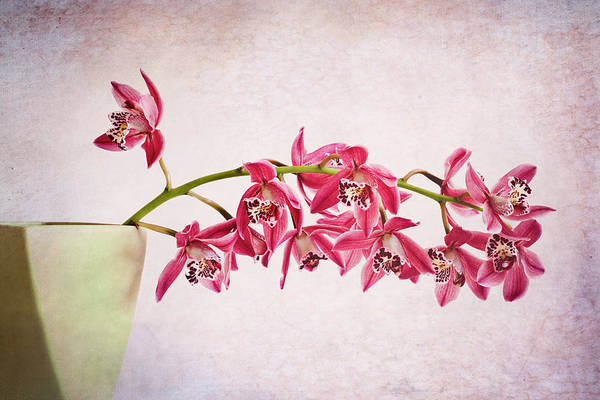 Nottinghamshire Photograph - Pink Orchids by Doug Chinnery