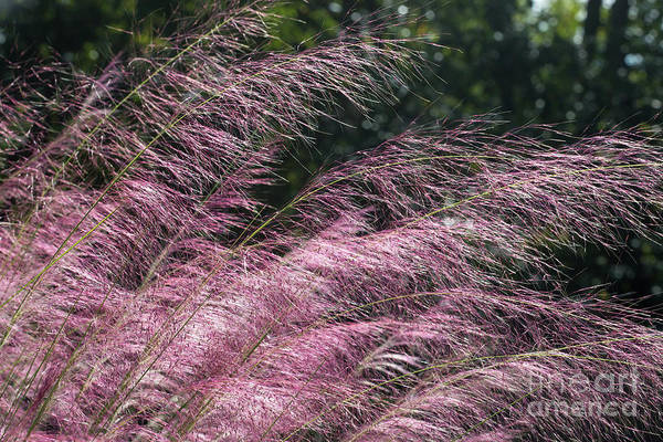 Muhlenberg Photograph - Pink Ornamental Grass In Bloom by Kevin McCarthy