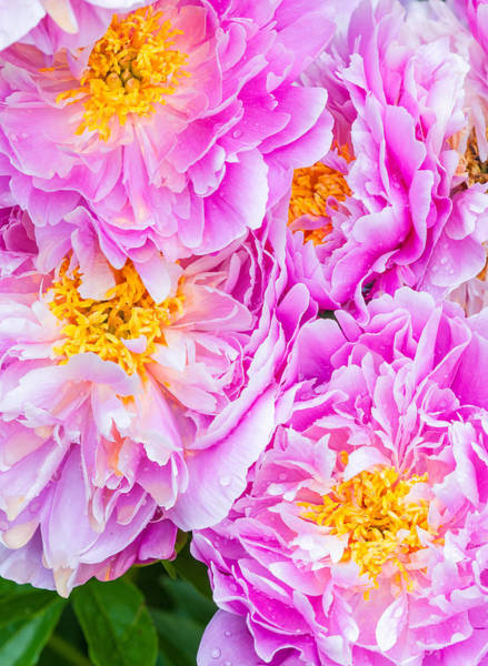 Photograph - Pink Peonies by Michael Lustbader