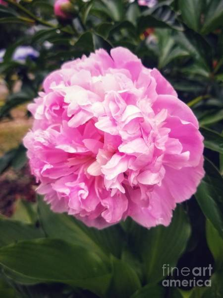 Photograph - Pink Peony Bloom by Rachel Hannah