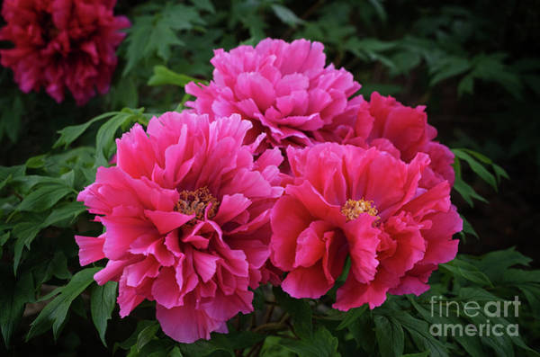 Photograph - Pink Peony Cluster by Rachel Cohen