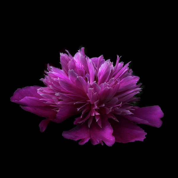 Photograph - Pink Peony In Square by Debra and Dave Vanderlaan