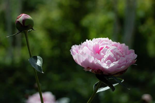 Photograph - Pink Peony by Mariella Wassing