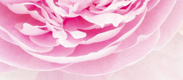 Photograph - Pink Peony by Sue Collura