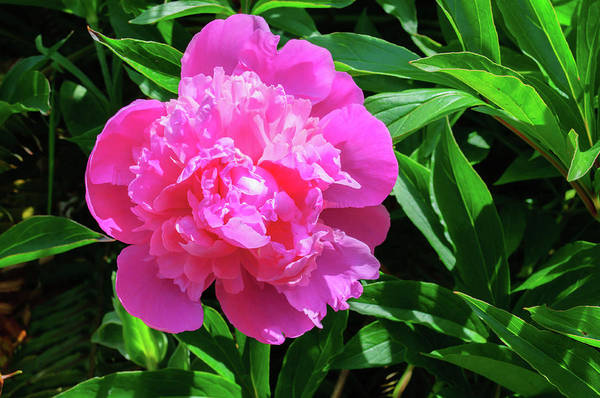 Photograph - Pink Peony by Tikvah's Hope