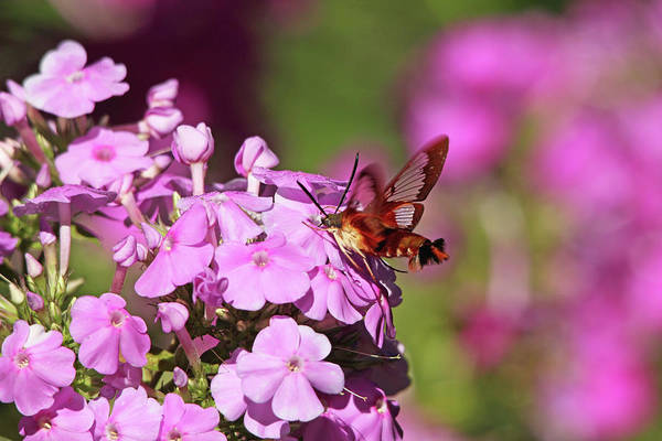 Hemaris Photograph - Pink Phlox And Clearwing Moth by Debbie Oppermann