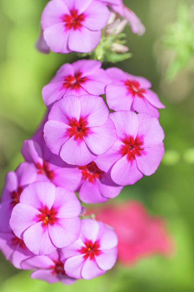 Photograph - Pink Phlox Drummond Brilliant by Jenny Rainbow