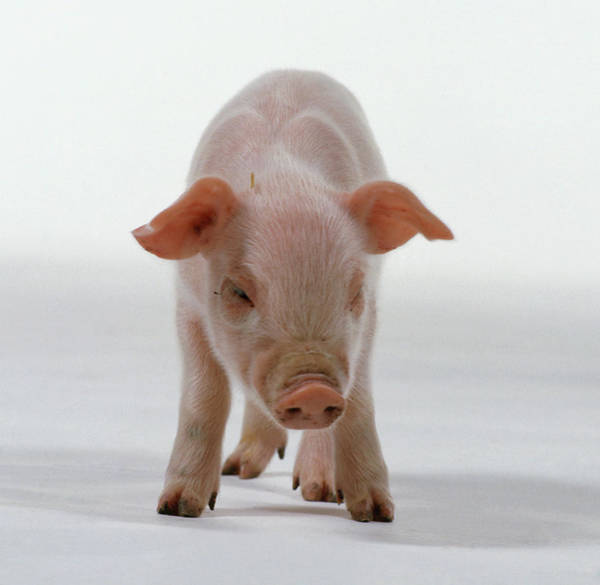 Pig Photograph - Pink Piglet Sus Domestica, Looking by Dorling Kindersley