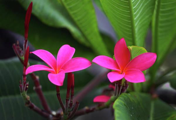 Photograph - Pink Plumeria by Anthony Jones