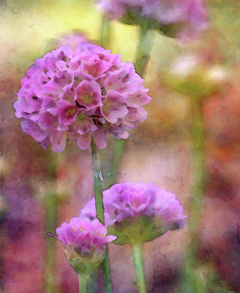 Photograph - Pink Poms 6144 Idp_2 by Steven Ward