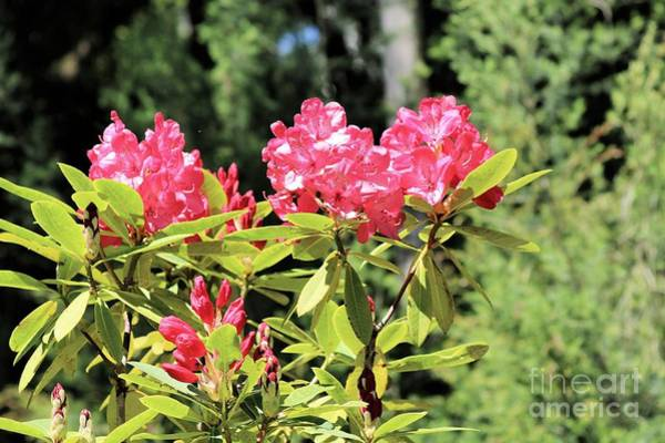 Wall Art - Photograph - Pink Pop Rhododendrons by Diann Fisher