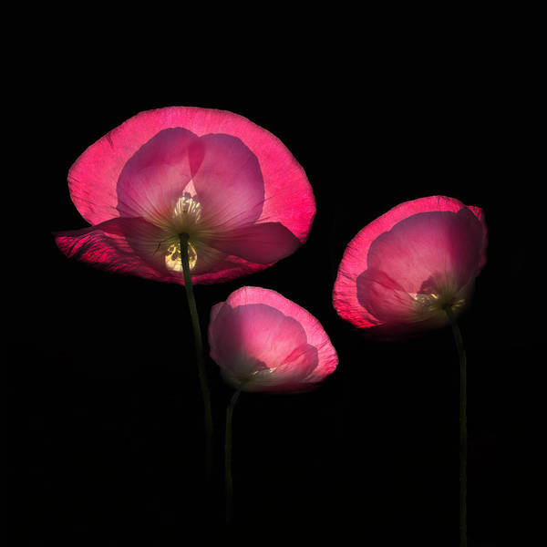Photograph - Pink Poppies In Square by Debra and Dave Vanderlaan