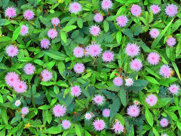 Photograph - Pink Powder Puffs by Sean Davey