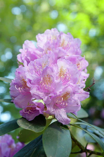 Photograph - Pink Purple Blooms Of Rhododendrons 1 by Jenny Rainbow