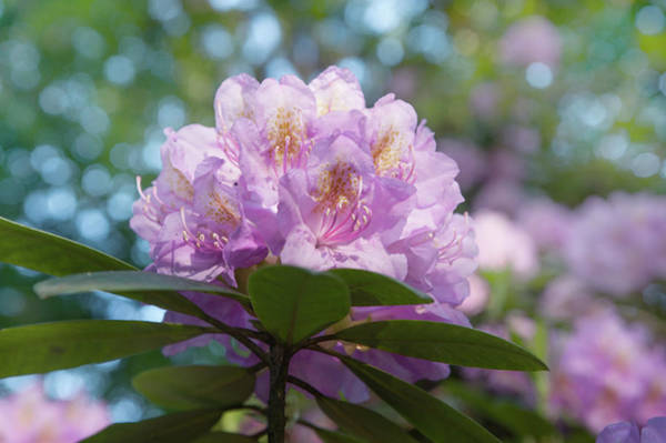 Photograph - Pink Purple Blooms Of Rhododendrons 2 by Jenny Rainbow