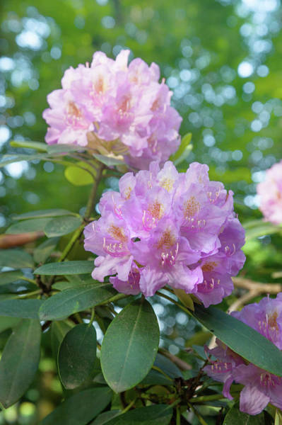 Photograph - Pink Purple Blooms Of Rhododendrons 3 by Jenny Rainbow