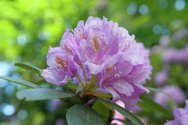 Photograph - Pink Purple Blooms Of Rhododendrons by Jenny Rainbow