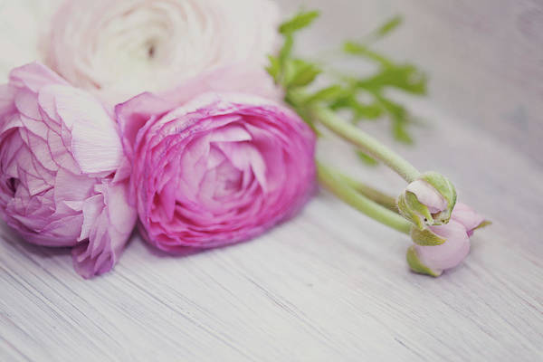 Shelves Photograph - Pink Ranunculus Flowers On White Wooden by Isabelle Lafrance Photography