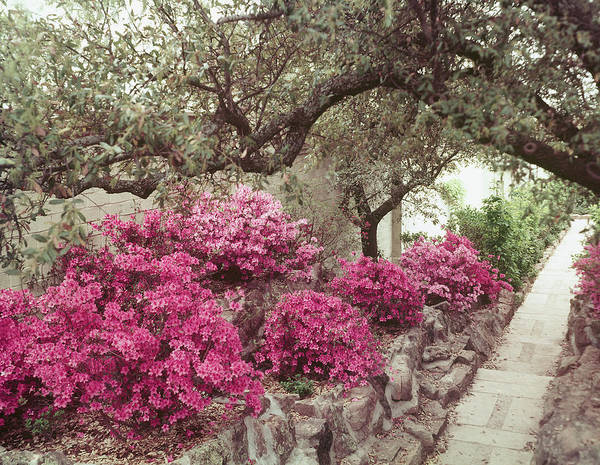 Photograph - Pink Rhododendron Bushes At Chandor Gard by John Dominis