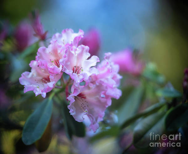 Wall Art - Photograph - Pink Rhododendron Flourish by Mike Reid