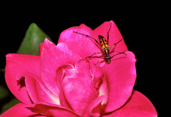 Wall Art - Photograph - Pink Rose And Beetle 004 by George Bostian
