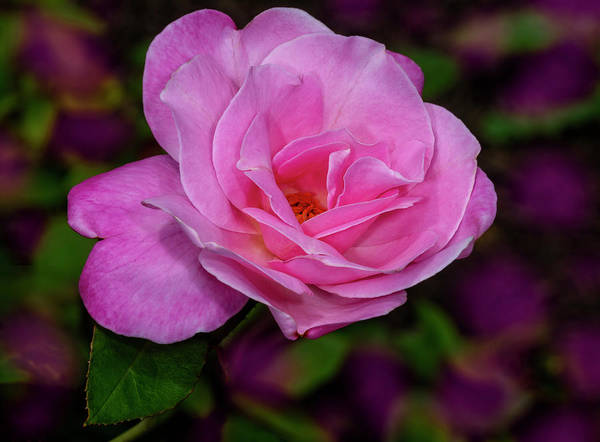 Photograph - Pink Rose In The Garden by Susan Candelario