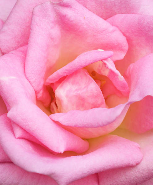 Wall Art - Photograph - Pink Rose, International Rose Test by William Sutton