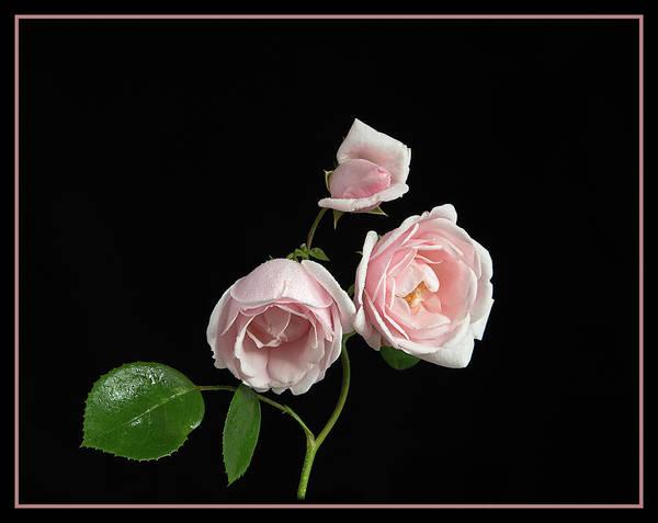 Wall Art - Photograph - Pink Rose New Dawn by Robert Murray