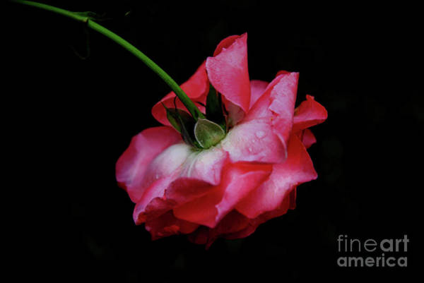 Battery D Photograph - Pink Rose Takes A Bow by Anita Faye