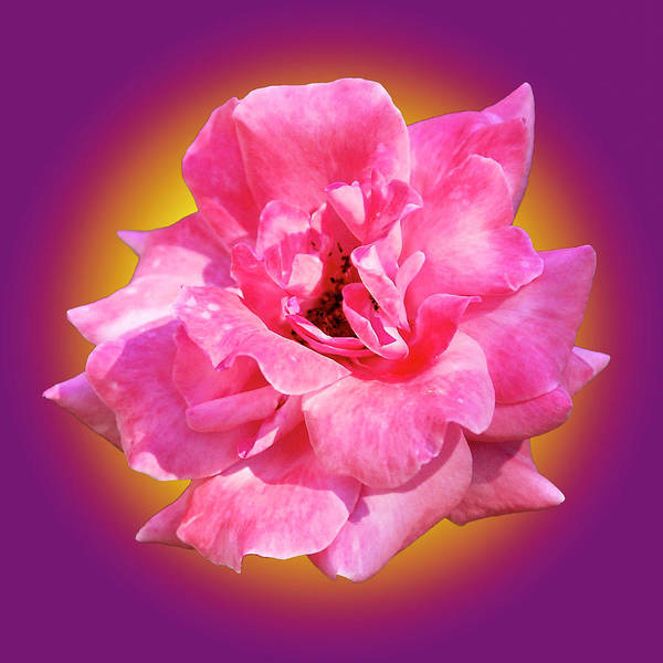 Photograph - Pink Rose With Background by Howard Bagley