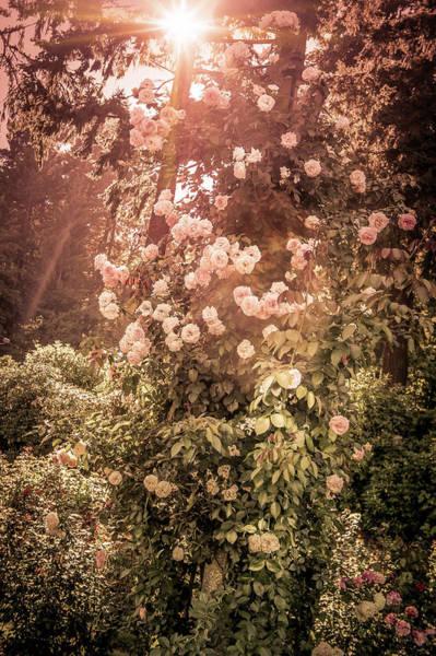 Wall Art - Photograph - Pink Roses Climb A Light Pole by Art Spectrum