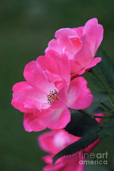 Wall Art - Photograph - Pink Roses by HD Connelly