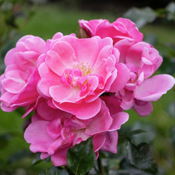 Photograph - Pink Roses by Mariella Wassing