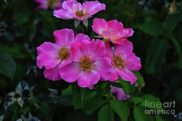 Photograph - Pink Rugosa by Diana Mary Sharpton
