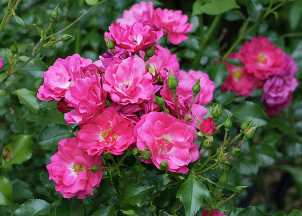 Photograph - Pink Shrub Rose by Jason Fink